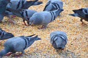 Des miettes aux pigeons